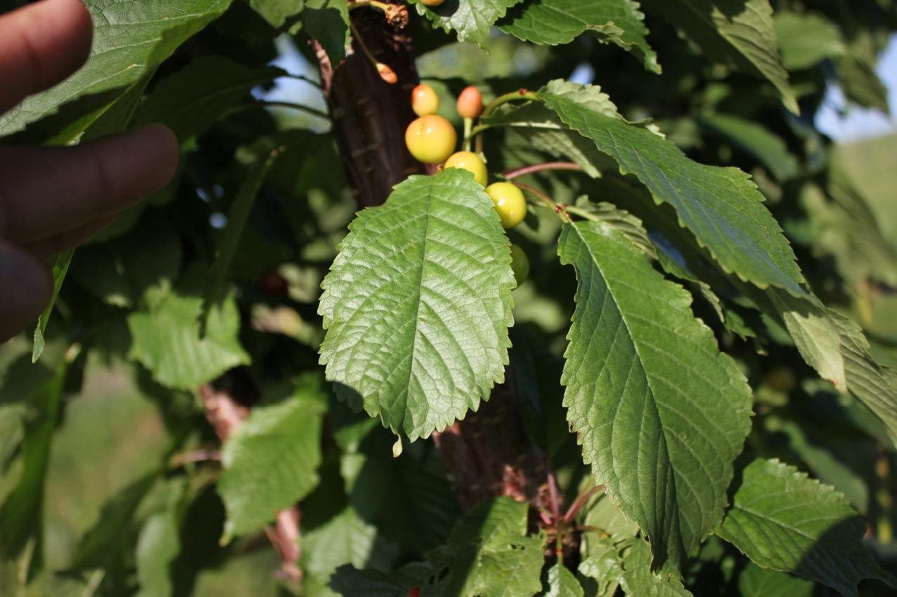 Листья черешни