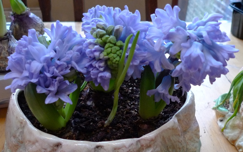Синий гиацинт в керамическом горшке