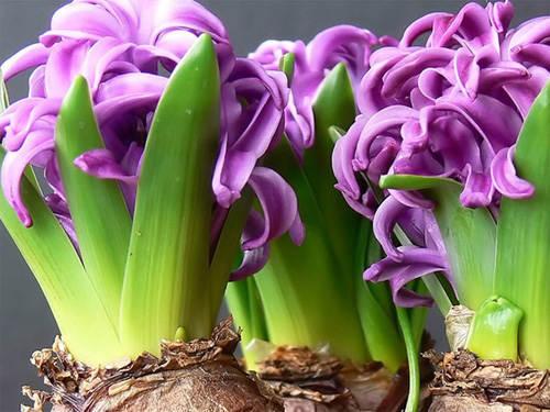 Цветущие фиолетовые гиацинты