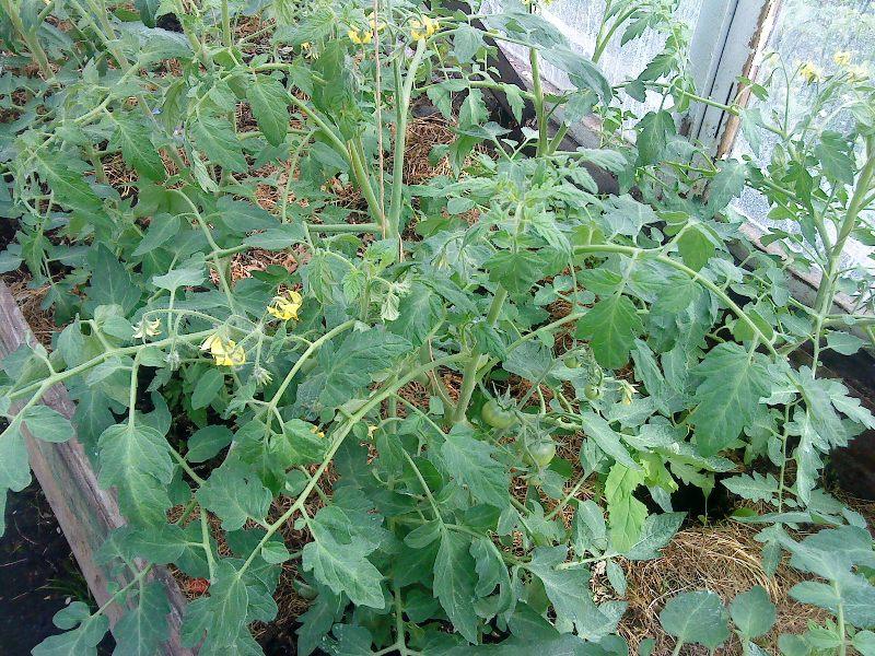 томат лабрадор улучшенный характеристика и описание сорта