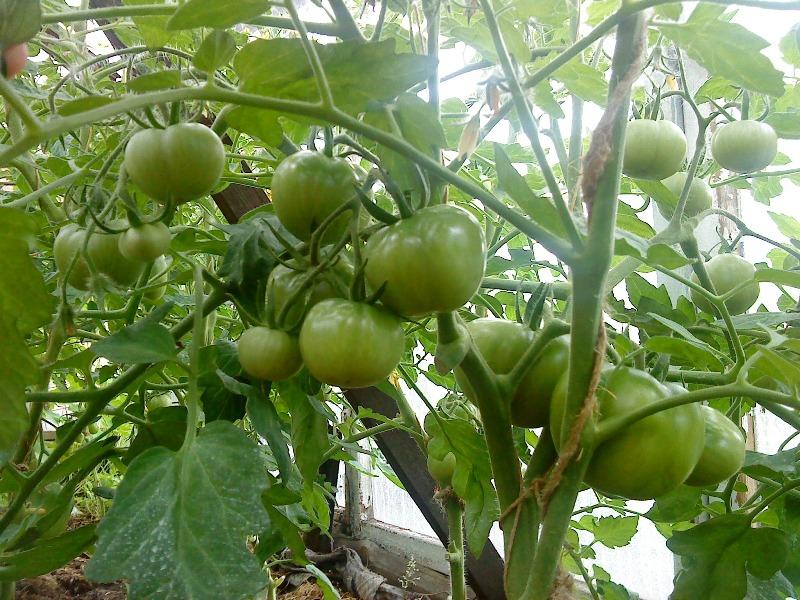 Неспелые плоды Лабрадора