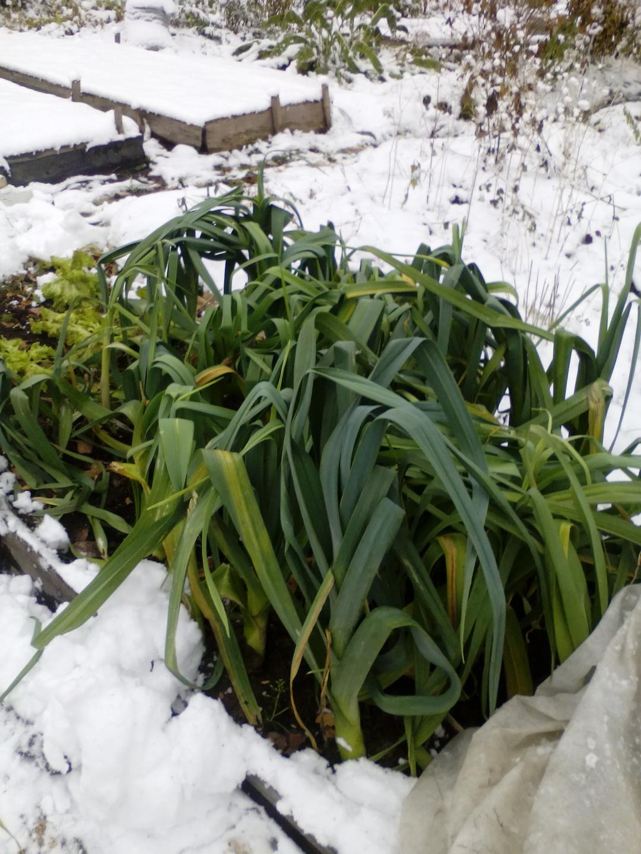 Лук-порей под снегом