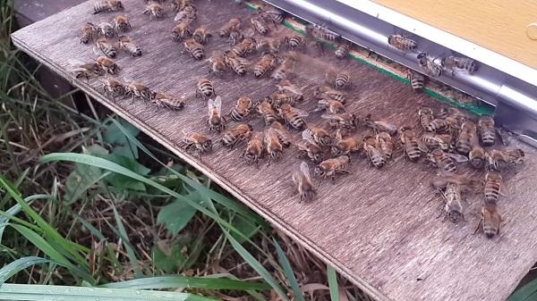 Пчелы на прилетной доске