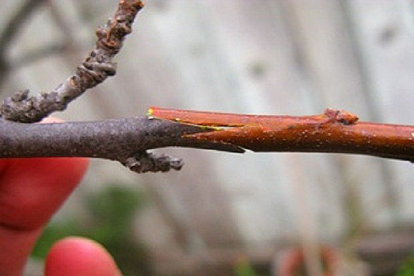 прививка черешни на косточковое дерево
