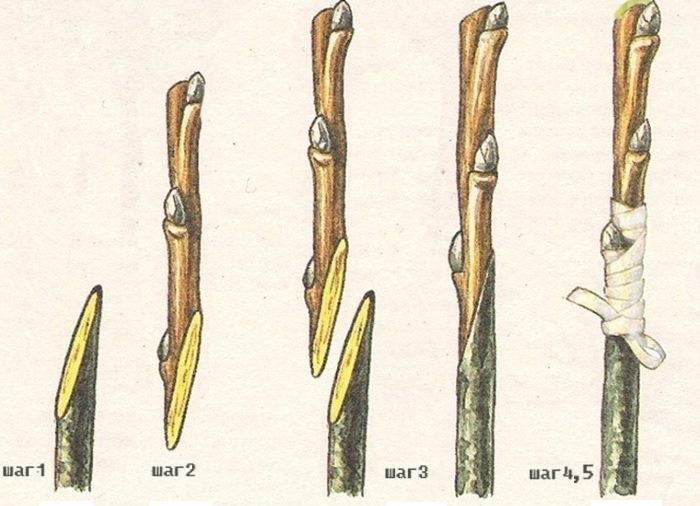 Схема пошаговой последовательность прививки черешни способом обычной копулировки