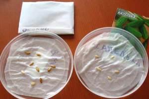 Проращивание огурцов в опилках и на туалетной бумаге