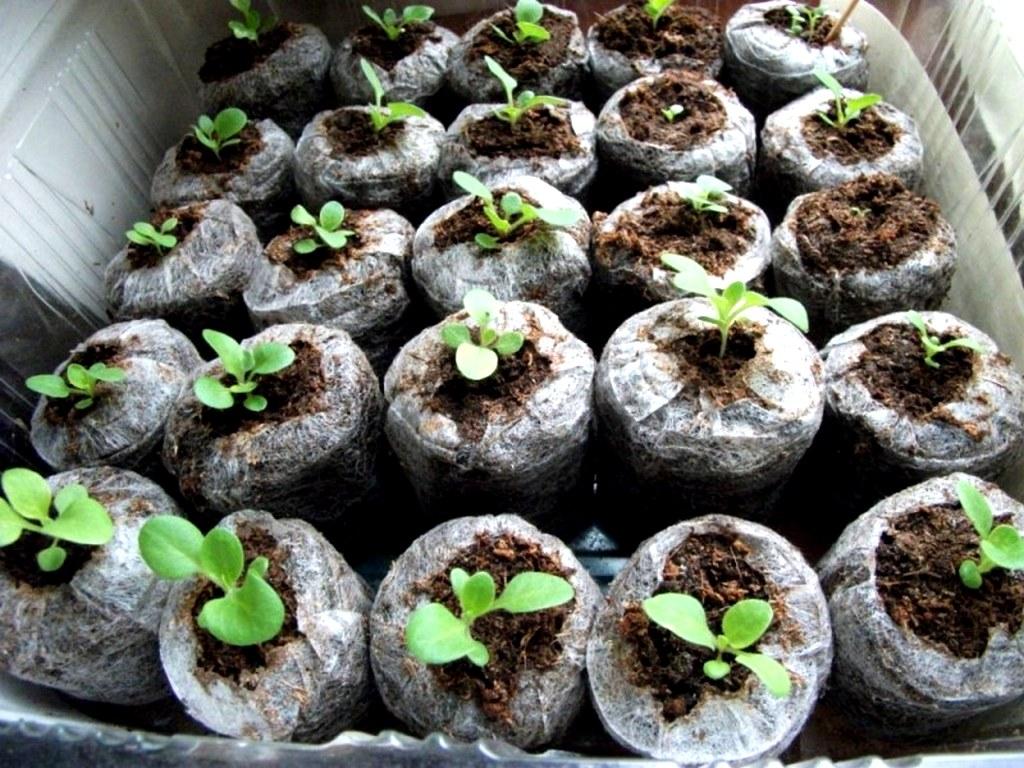 Рассада капусты в торфяных таблетках