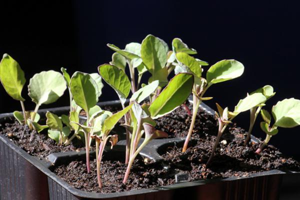 Рассадный способ выращивания цветной капусты
