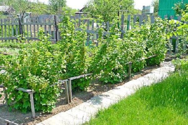смородина на огороде