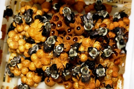 Шмелиный мёд