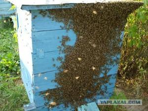Как происходит роение пчел