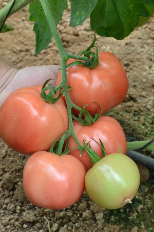 Раннеспелое растение одаривает урожаем через 3,5 месяца после всходов