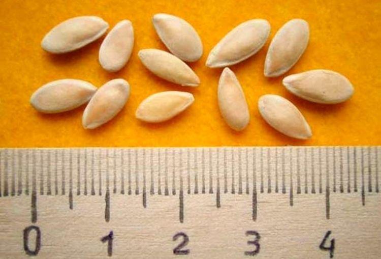 Семена огурцов и линейка