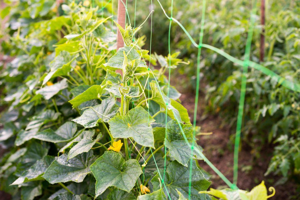 Подвязка огурцов к сетке