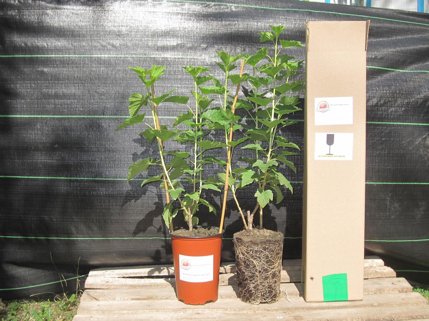 Саженец смородины с закрытой корневой системой