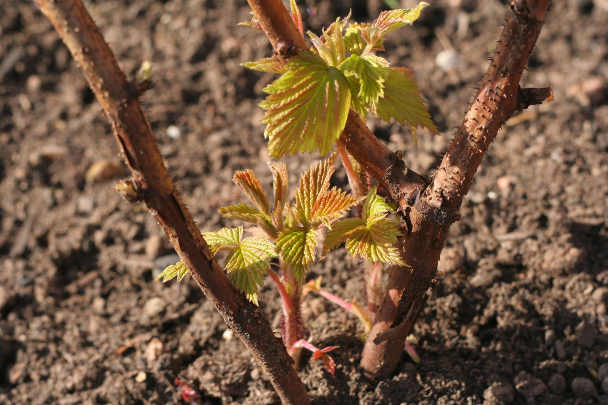 Как пересадить виноград летом