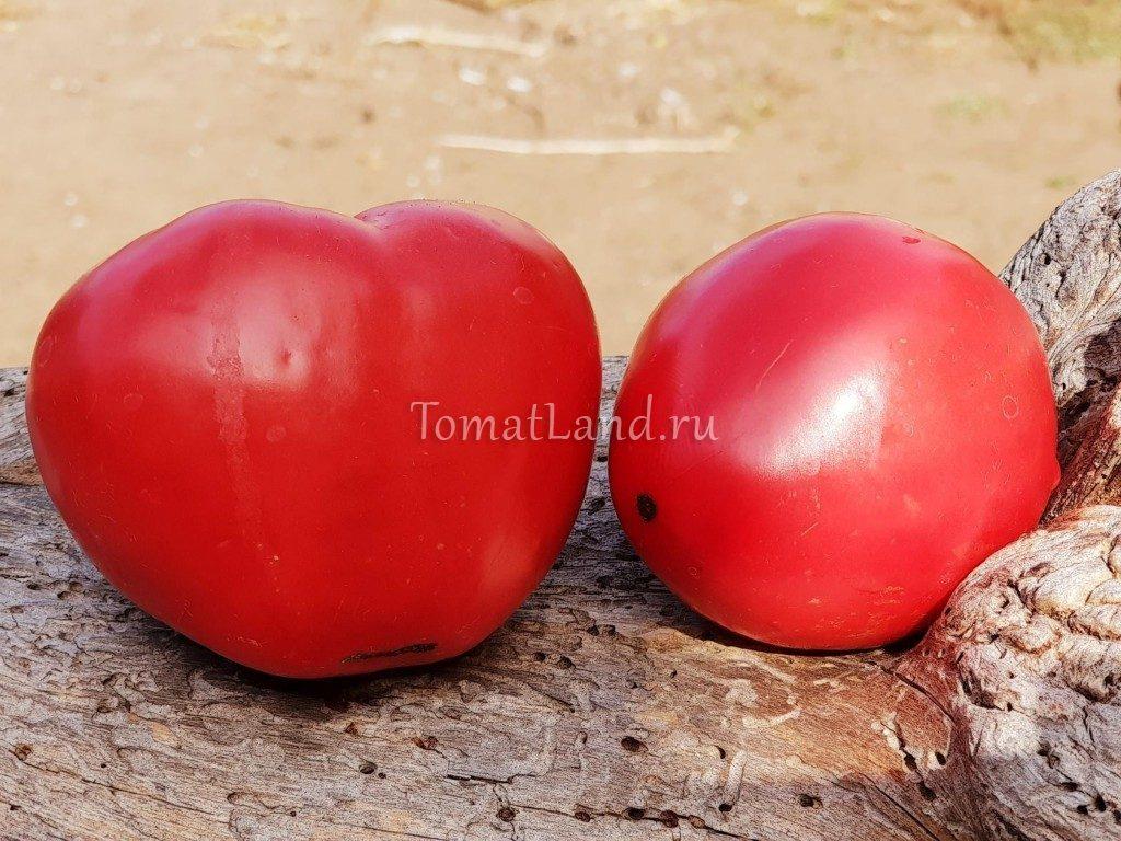 томаты шапка мономаха отзывы фото