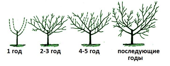 Схема формировки кроны типа чаши