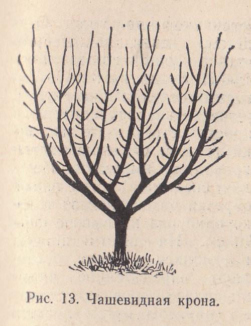 Схема кроны дерева в форме чаши