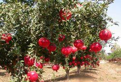 схема подкормки яблук