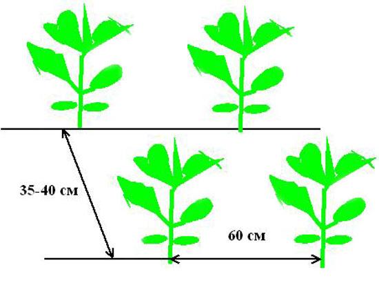 Схема посева цветной капусты