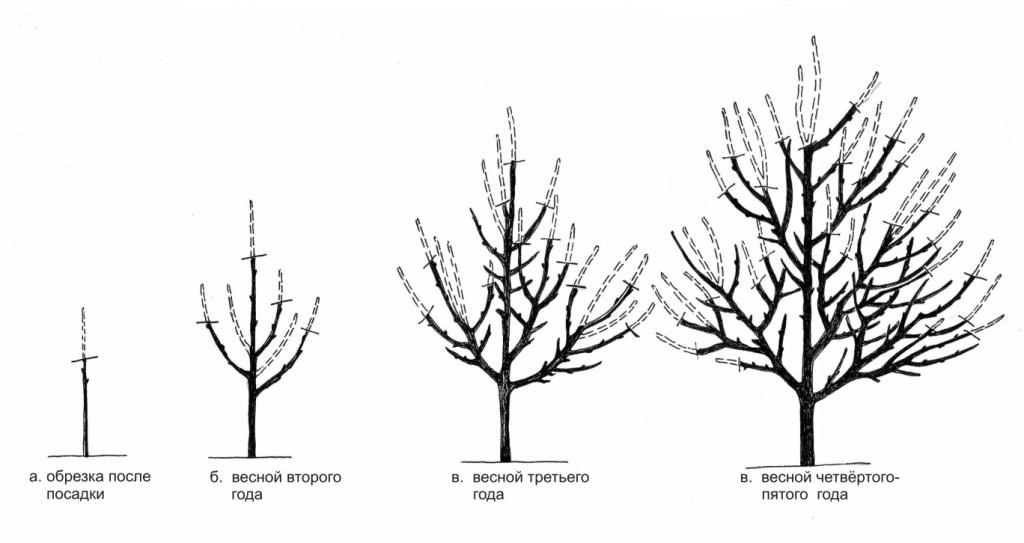Схема разреженно-ярусной формировки кроны