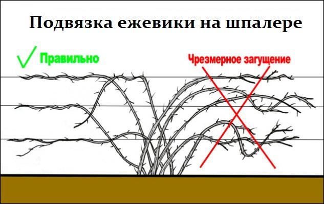 Шпалера для росяники