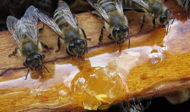 Сколько меда нужно оставлять пчелам на зиму