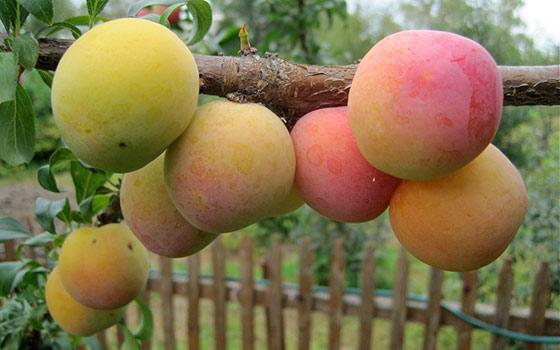 Сортовые особенности сливы Скороплодная