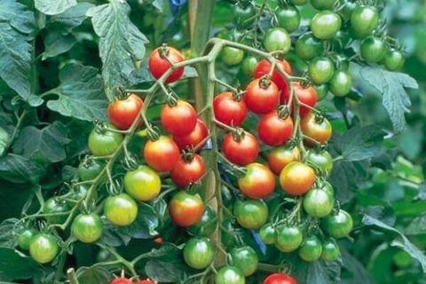 томат гроздь