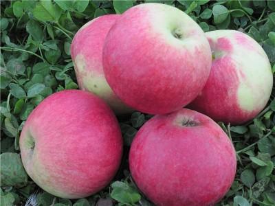 Сорт яблони Аэлита