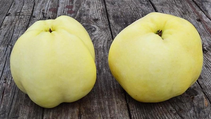 Сорт яблони Антоновка 600