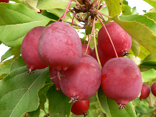 Сорт яблони Долго