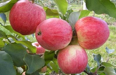 Сорт яблони Мечта