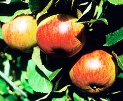 Сорт яблони Поливитаминное