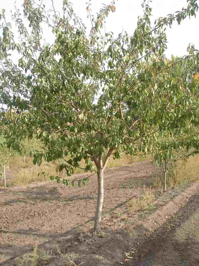 Среднерослое дерево сливы