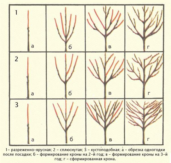 Разновидности крон черешни в зависимости от способов обрезки