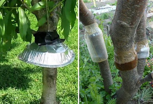 Пояса на деревьях от муравьев