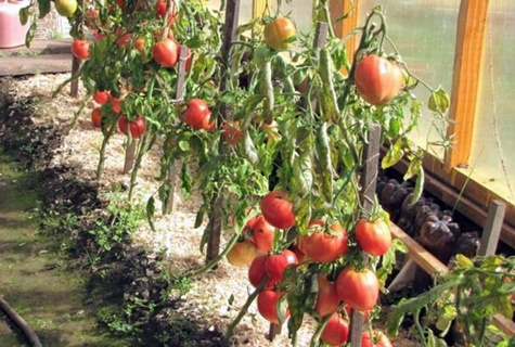 томаты тяжеловес сибири в теплице
