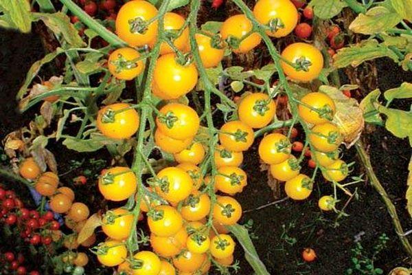 черри золотая вишня