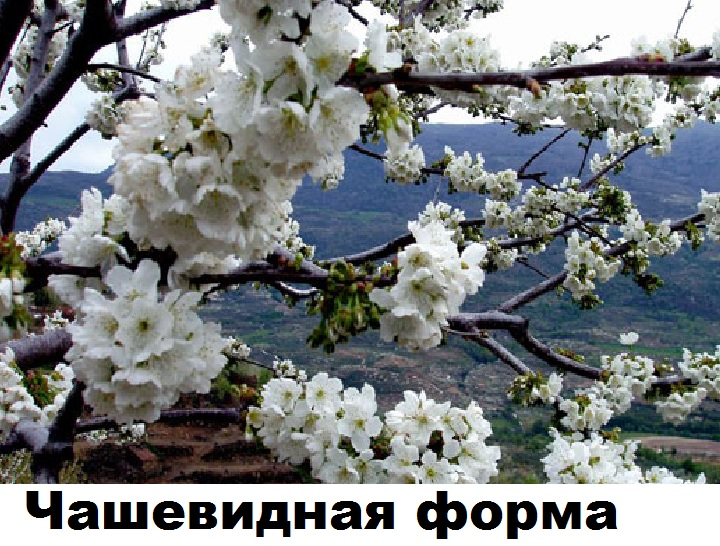 Цветки вишни