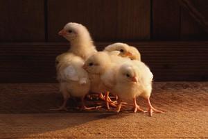 Цыплята курицы