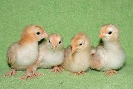 Как определить пол цыпленка сортировка цыплят по полу