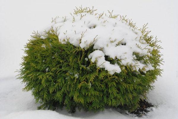 туя Даника под снегом