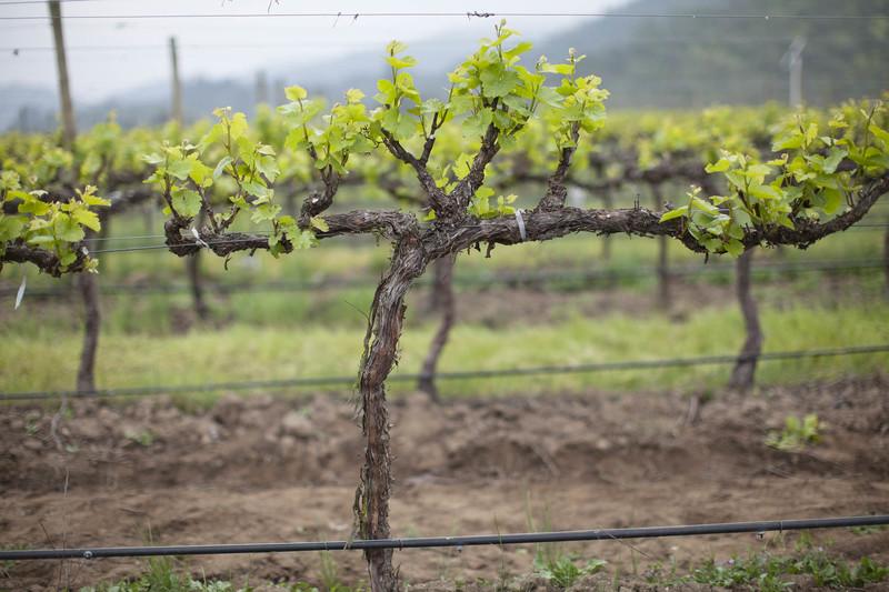 Как ухаживать за молодым виноградником