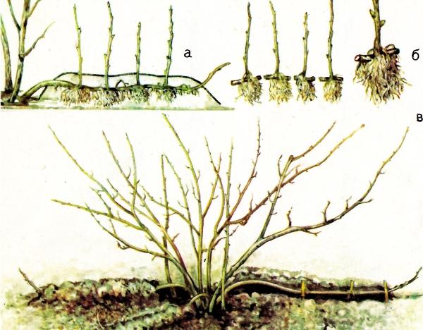 Укоренение отводков чёрной смородины