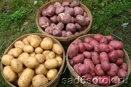 Как выбрать лучший сорт картофеля?