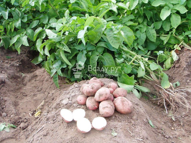 Хороший урожай раннего картофеля зависит от весеннего полива