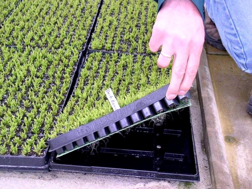 Вентиляция корней кассетной рассады