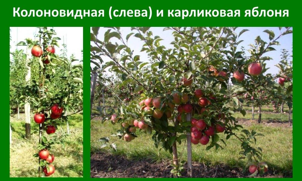 Виды и сорта яблони